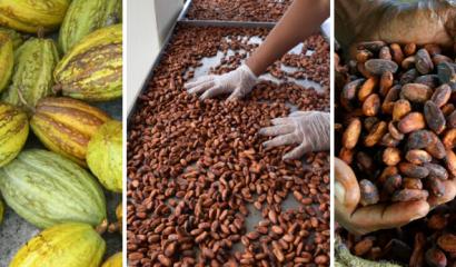 Cacao_martinique_diversité_génétiques
